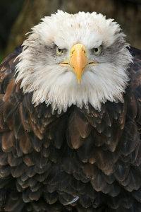 Staring Bald Eagle