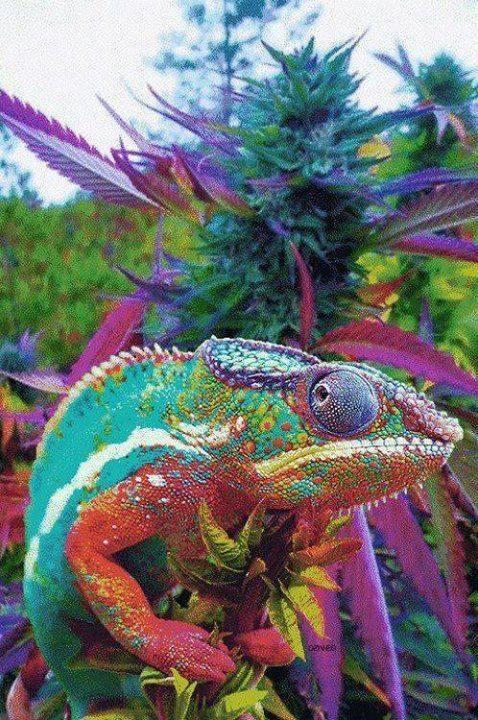 DCC Dragon Cannabis Club
