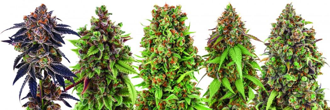 Y все сорта марихуаны легализация марихуаны фильм