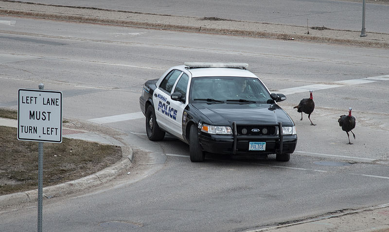 Wild_turkeys_chase_a_police_car_in_Moorhead,_MN,_on_Monday,_Apr._29,_2013