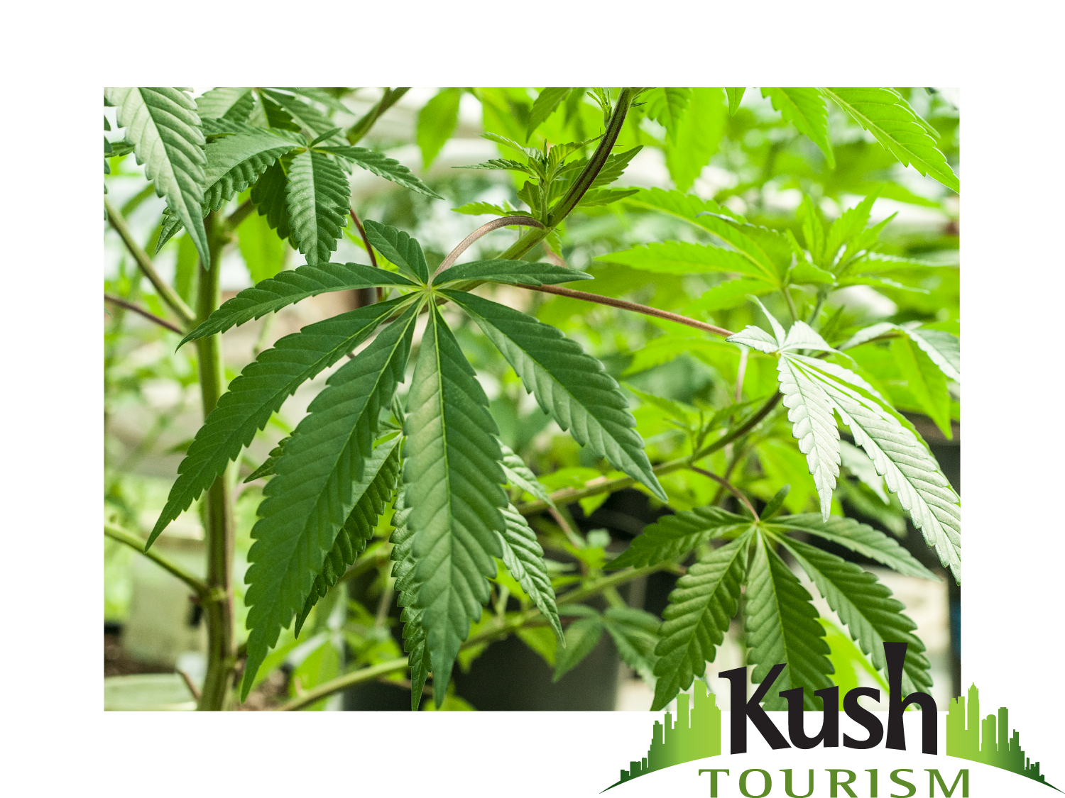 Denver Colorado Marijuana Tours