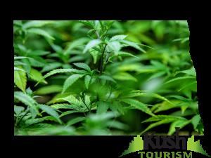 North Dakota Marijuana