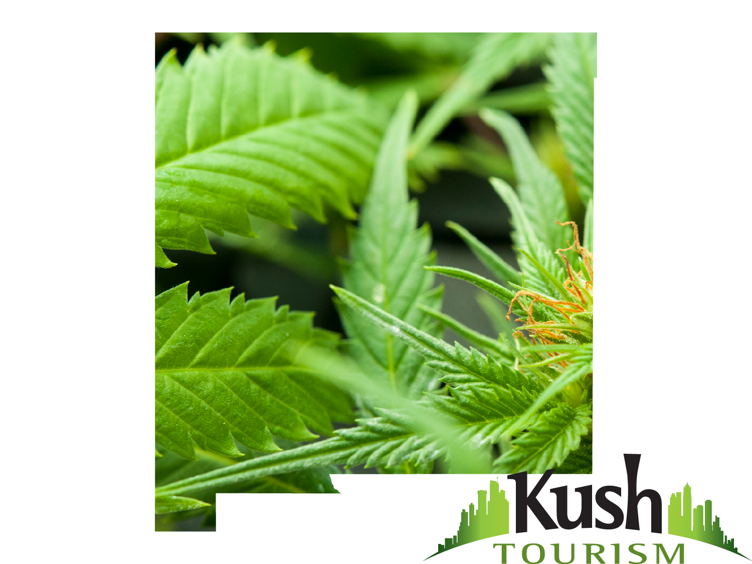 legalization of marijuana in new mexico In june, mexico legalized medical marijuana now, its set to legalize marijuana-based products like foods and topicals in 2018.