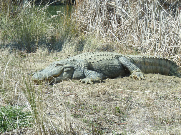 happy-gator