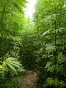 Weed Forest