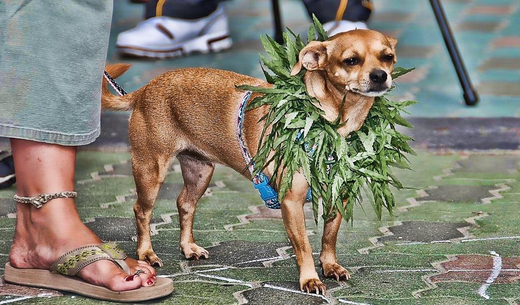 Vela Cannabis Hosts Pet CBD Event