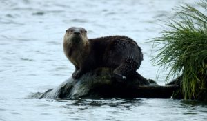 River Otter Visitor